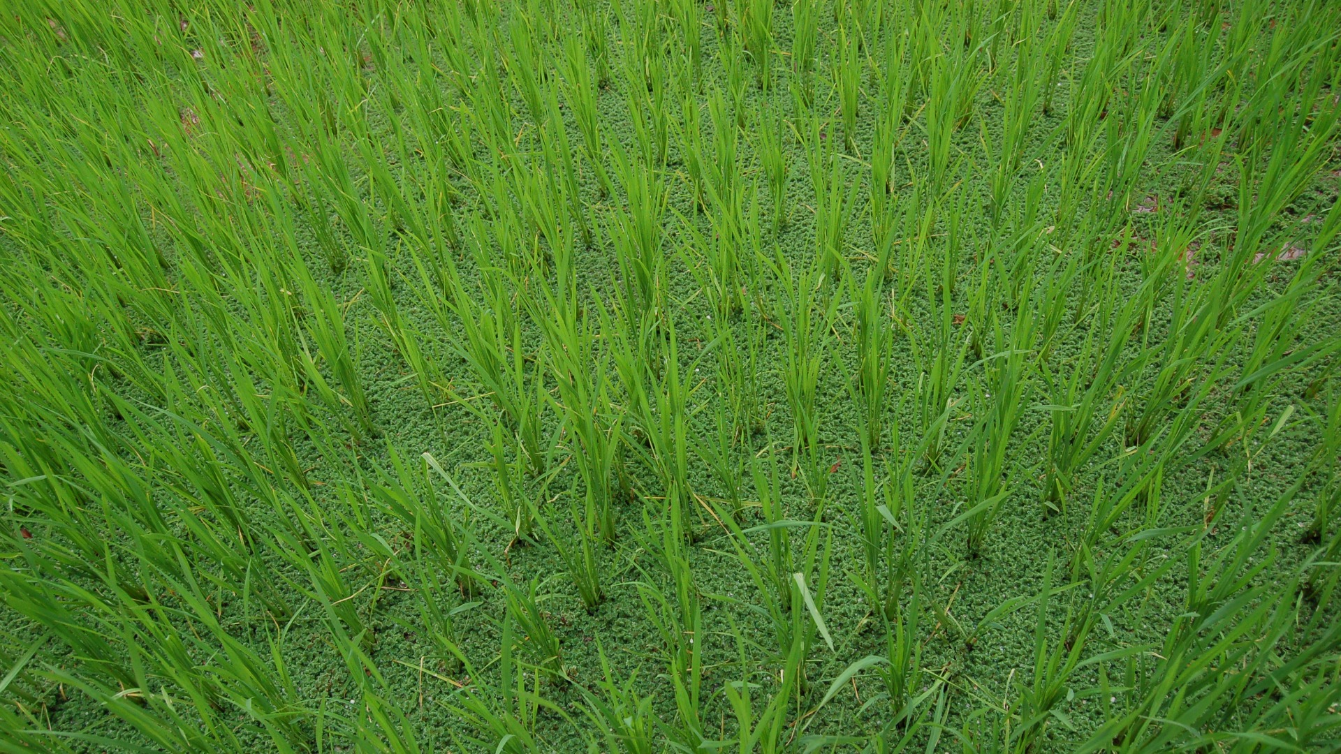 azolla-in-paddy-01