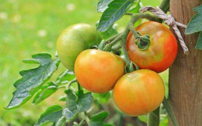 Kitchen gardens – Nutritional source for women